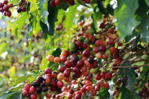 Kaffeepflanze | Spezialitätenkaffee Augsburg